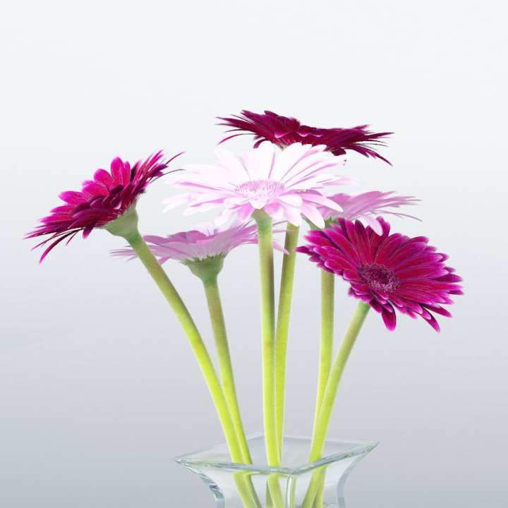 Gerbera-13-b-blowup_720x720