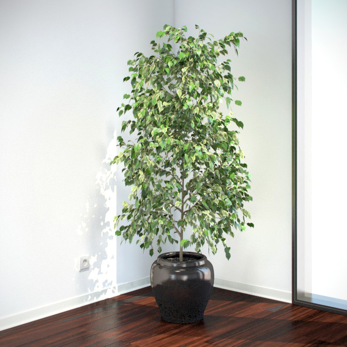 Ficus benjamina 3d models - Interior plant maintenance contract ...