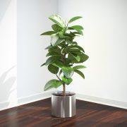 VP-Ficus-Elastica-FEATURE-IMAGE