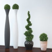 VP-Boxwood-tree--FEATURE