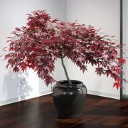 VP-Japanese-Maple-v3-01-FEATURE