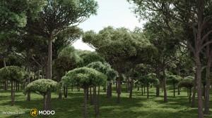 Stone Pine - Pinus Pinea