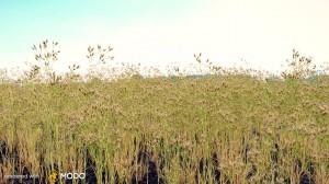 Aira Caryophyllea - Silver Hairgrass