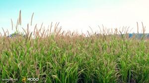 Alopecurus Pratensis - Golden foxtail grass
