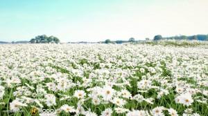 Bellis Perennis - Daisy flower