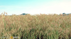 Bromus Tectorum - Cheat grass