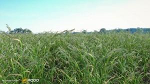 Dactylis Glomerata - Orchard grass