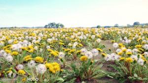 Taraxacum - Dandelion flower