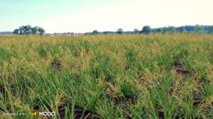 Festuca Baffinensis - Fescue ornamental grass