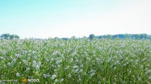 Lepidium Virginicum - Peppergrass