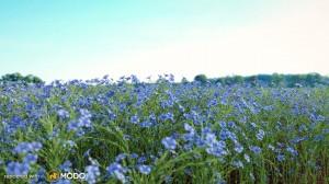 Linum Lewisii - Blue flax flower
