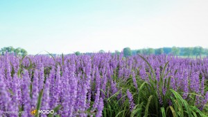 Liriope Muscari - Big blue lilyturf