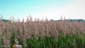 Phalaris Arundinacea - Reed canarygrass
