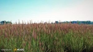 Phleum Pratense - Perennial grass