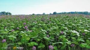 Trifolium - Clover