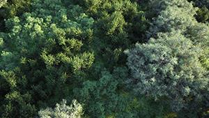 VP Real Forest Eucalyptus