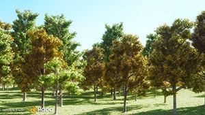 Acer - Maple Tree