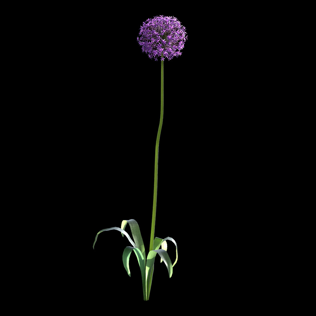 Garlic Flower - Variation 7