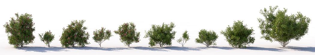 VP Skimmia Japonica 3D shrub
