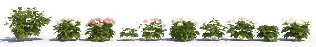 3D shrub models of Wild Hydrangea
